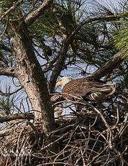 American Bald Eagle Parent standing over very young eaglet