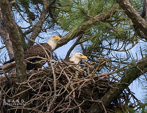 Two American Bald Eagles sit atop their nest