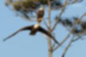 Swooping American Bald Eagle