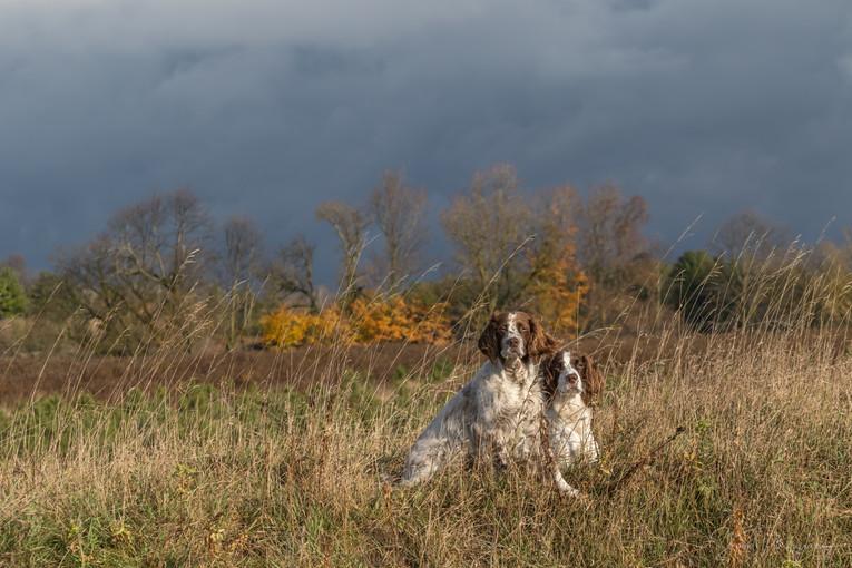 Field Springers