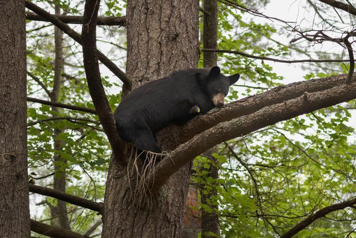 Black Bear Chillin' in a Tree