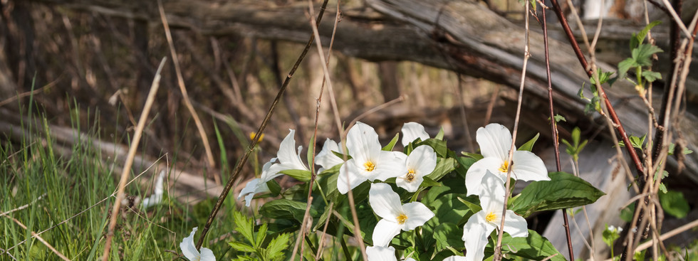 Bunches of Trilliums