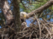 The eagle eye of a parent Bald Eagle watching over its eaglet