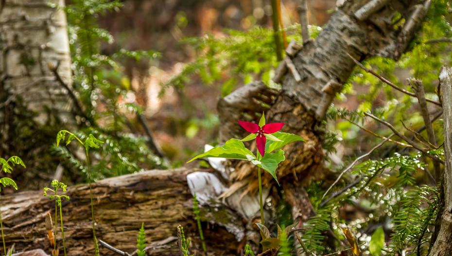 Crimson Trillium