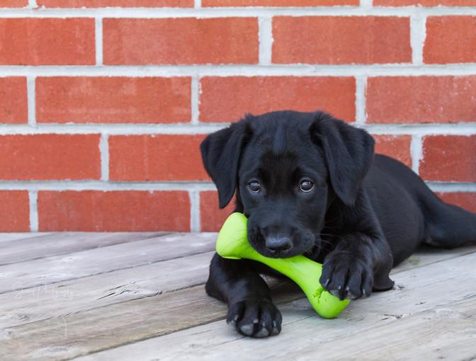 Lab Puppy Play