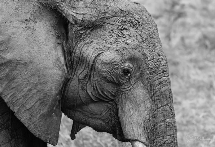 Elephant Wrinkles