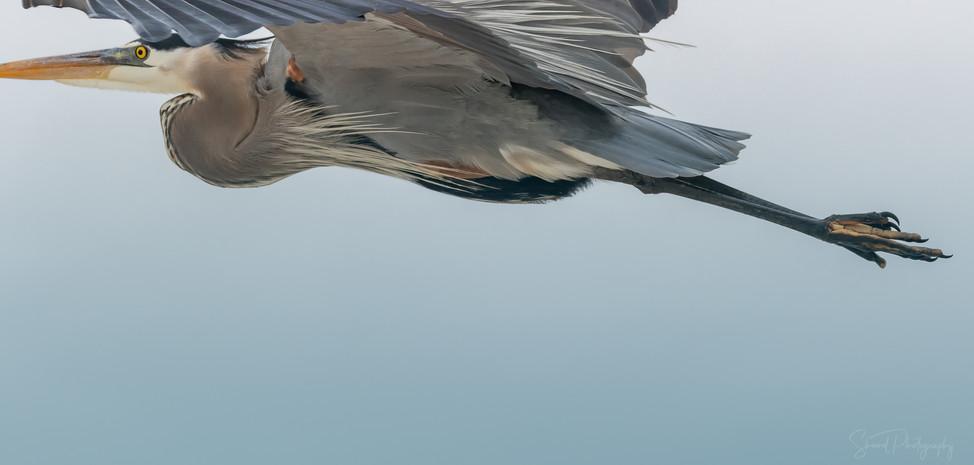 Heron Close Up