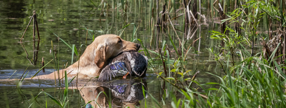 Labrador climbs out of the marsh with successful retrieve