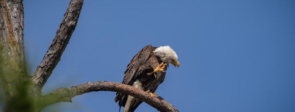Eagle Scratch