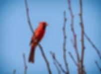 Cardinal 1306
