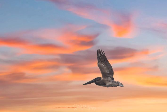 Pelican flies at sunset