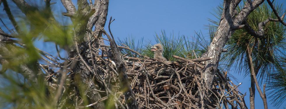 Bald Eaglet looks for Momma