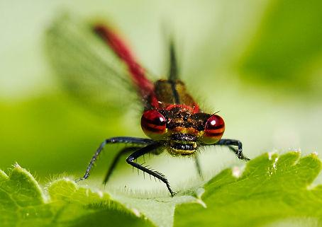 Large Red Damsel Fly.jpg