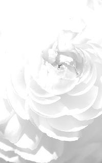 white_rose_petals_flower_bright_68307_19