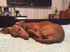 Домашняя передержка собак