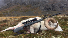 Excellent Dall Sheep Taken with NW Backpacker Custom Rifle Package!