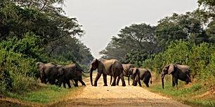 Elephants crossing the road in Queen Eli