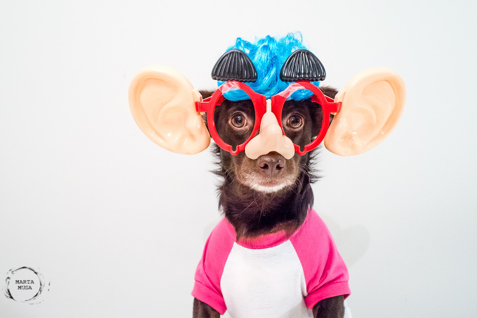 Carmela the dog wearing a pink and white baseball t-shirt, wearing a disguise with glasses, human nose, human ears, eyebrows and a blue wig