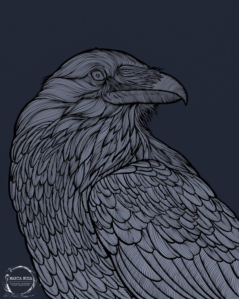 Completed digital illustration of a crow.  Isolated against a dark blue background is a Black line drawing of a crow coloured in light blue/grey