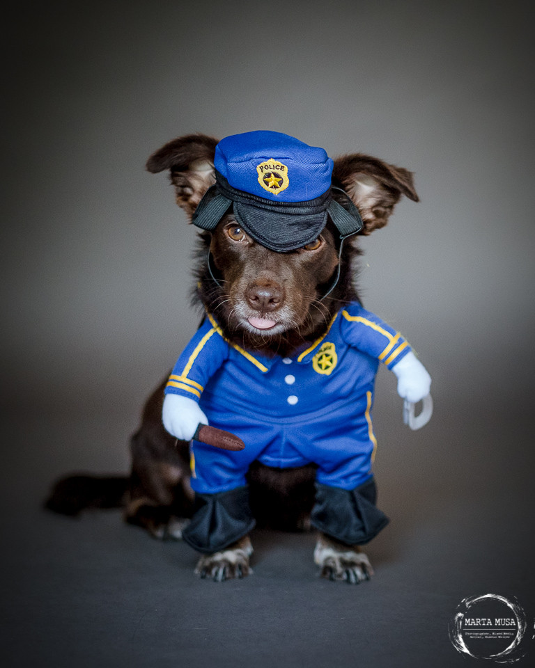 Carmela, a Jack Russel, Daschund cross dog is posed wearing a police man costume.  She is looking into the camera with her tongue sticking out & looking very cute.