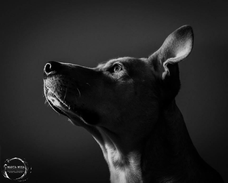 Black and White dramatic portrait of our wonderful and handsome dog Frederick.  Fred was a large Canadian Dingo / Carolina Dog / Pitbull / Labrador Retriever type dog.
