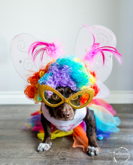 Carmela the dog dressed up in a clown wig, butterfly wings and a tutu