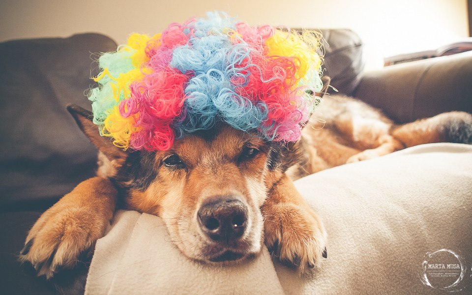An image of a 15 year old dog, Kootney, a husky shepherd cross, wearing a clowns wig, looking into the len with disdain.
