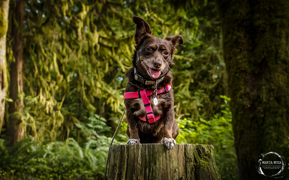 Short legged chocolate and white Jack Russel and Daschund cross dog sitting on top of a tree stump in the woods looking very proud of her wet dirt covered self.