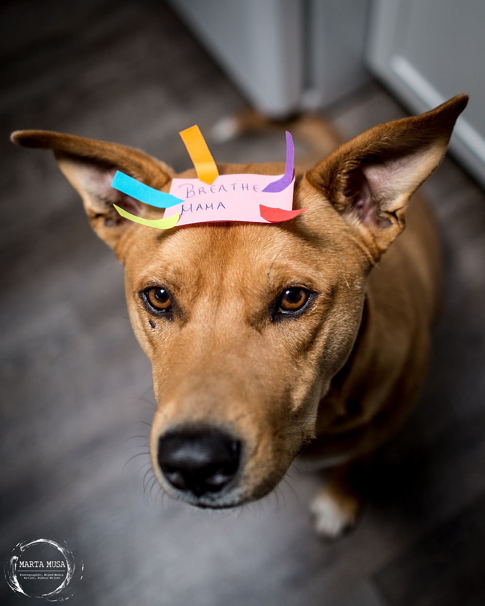 A photograph of Fred, a large mixed breed red dog with distinctly dingo like appearances.  He is looking up into the camera and has a post it on his head that reads Breathe Mama