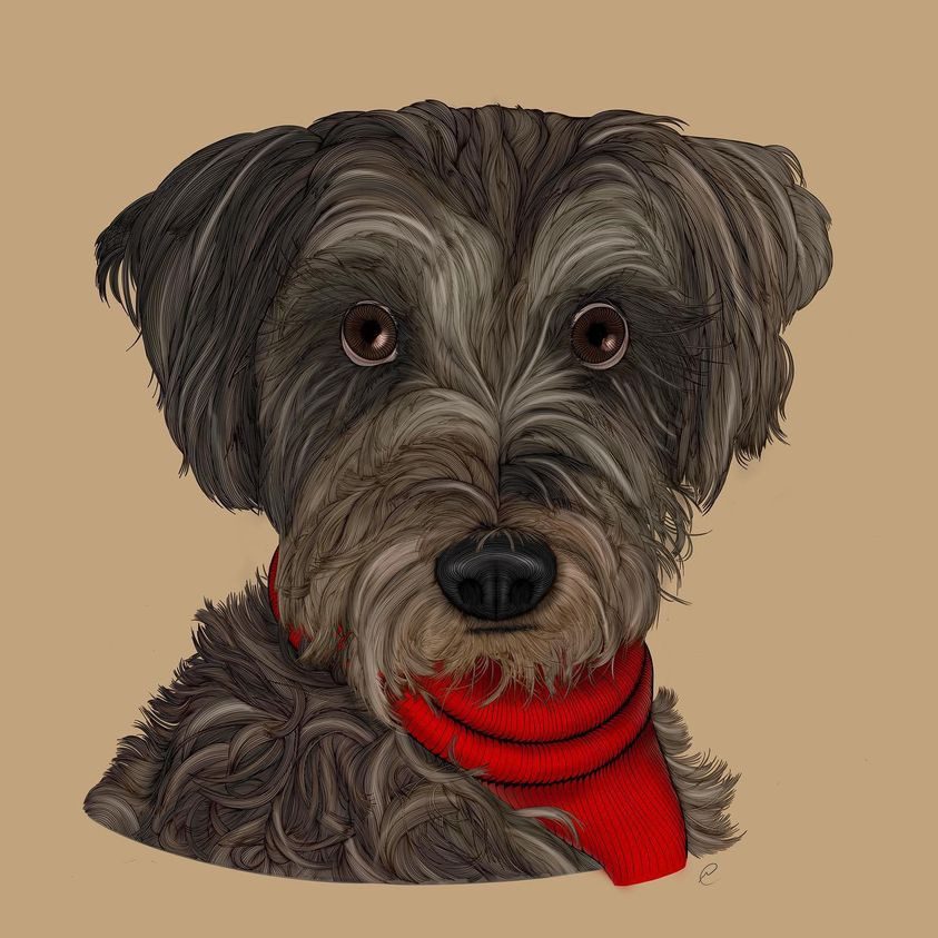 Contour line drawing of  the bust of Kona, a Grey, White and brown Schnauzer mix dog.