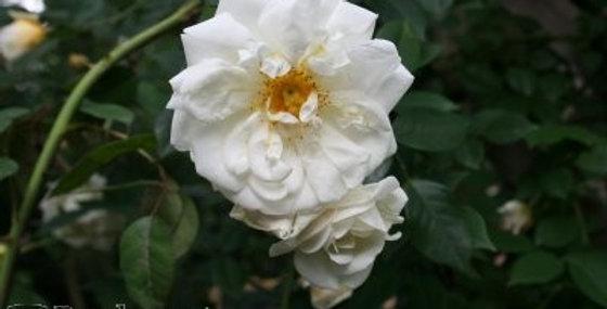 Rosa Gardenia