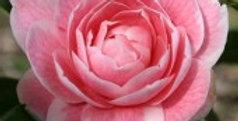 Camellia Japonica Elisabeth