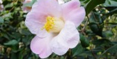 Camellia williamsii 'J. C. Williams'