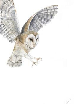 Rachel Farr barn owl in flight the retur