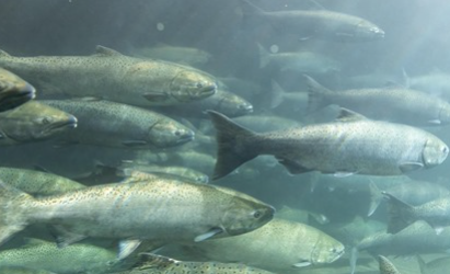 Huge Dam Demolition Could Save Salmon on the Edge of Extinction