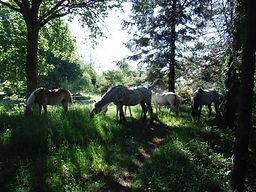 chevaux dans les herbes1.JPG