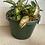 Thumbnail: Tricoloured Hoya 19cm