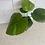 "Thumbnail: 4"" Ficus Umbellata"