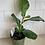 "Thumbnail: 4"" Fiddle leaf Fig"
