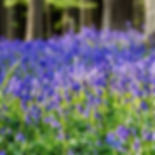 bluebell wood.jpg