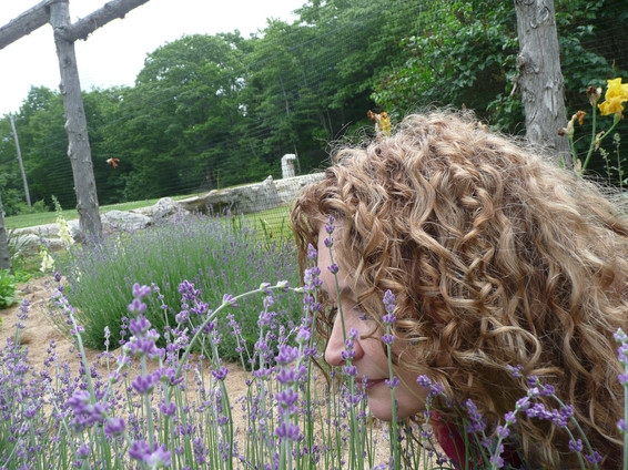 Lavender - me with my nose in it.JPG