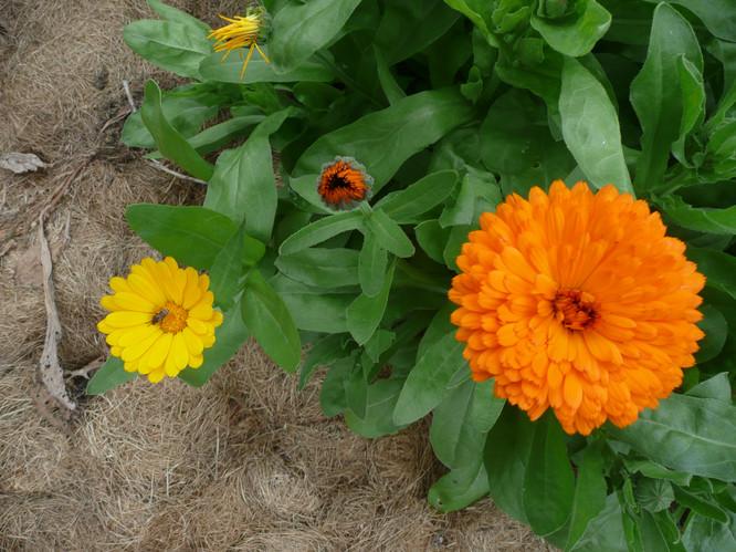 Calendula flower.JPG