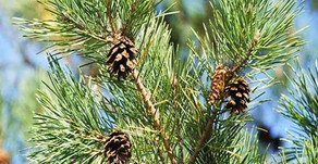 "Scotch Pine Essential Oil: A Refreshing, Comforting ""Essence of the Forest"""