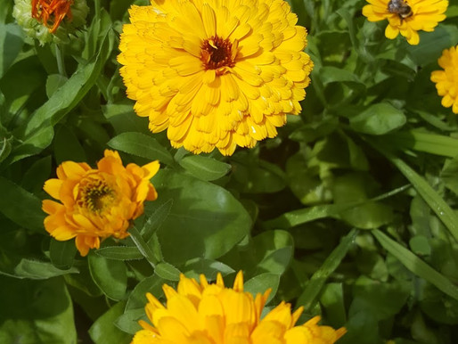 Calendula-Infused Body Oil: How To Make It