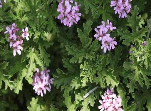 Geranium Essential Oil: Your Rose-Scented Wellness Aid