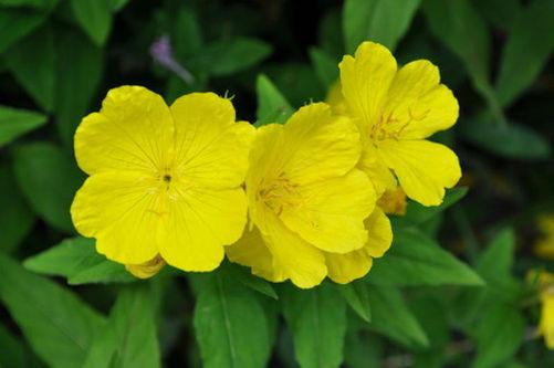 Evening Primrose & Rose Hip Healing Oil