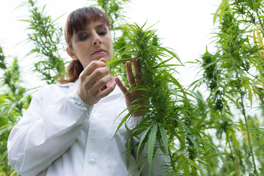 marijuana modesto