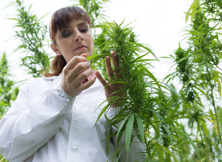 Stanislaus County Tax Structure for Cannabis Cultivation (The Genezen Project)