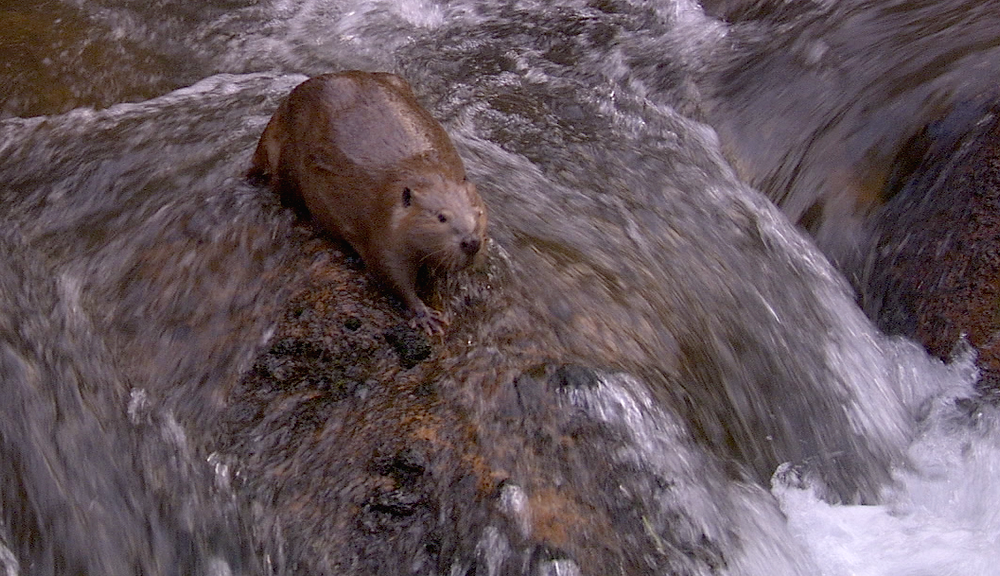 beaver in creek.png