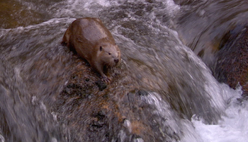 Grand Canyon stories: Beavers in the Canyon